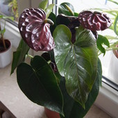 Anthurium andreanum 'Black Queen'