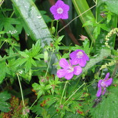 Bodziszek łąkowy - Geranium pratense