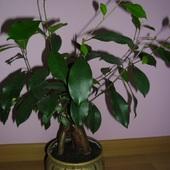 Ficus ginseng - BONSAI