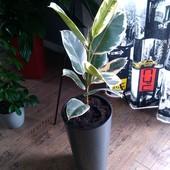 Fikus - Ficus elastica
