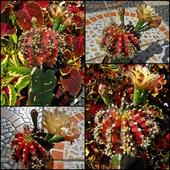 Gymnocalycium fredrichii multicolor