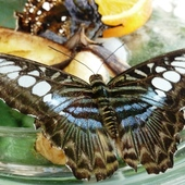 i jeszcze jeden motylek:)