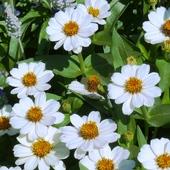kwiat cynii