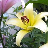 lilia, żółta
