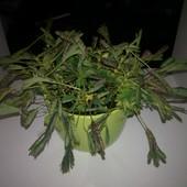 Mimoza wstydliwa - Mimosa pudica