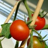 Na pierwsze zbiory 3 pomidory! Pyyyszne:)