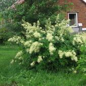 Parzydło leśne (Aruncus sylvestris)