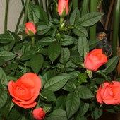 rosa hibrid