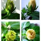 Róża się zmienia i żółknie