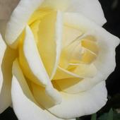 Różyczka dla Uleczki :)