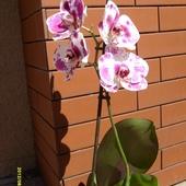 Storczyk- phalaenopsis.