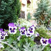 twardziele - pachną, kwitną od początku kwietnia