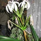 Znalazłem ! To jest Krynia azjatycka ( Crinum asiaticum)