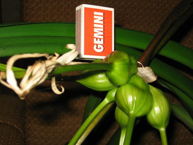 Krynia azjatycka ( Crinum asiaticum)