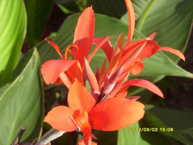 Piękne kwiaty cany.