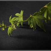 Chmiel japoński - Humulus japonicus
