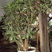 Drzewko szczęścia - Grubosz
