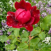 Dzisiaj dla Was różyczka z kropelkami deszczu :)