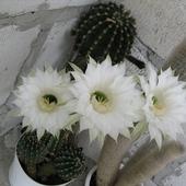 Echinopsis oxygona - kwiaty