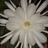 Epiphyllum Oxypetalum zakwitła wczoraj o 21,30 .