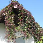 Girlandy winobluszczu pięciolistkowego:)