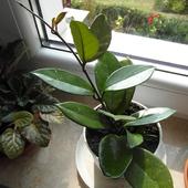 Hoya odratowana
