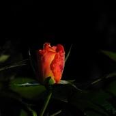 Jesienne Róże....