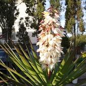 Juka słoniowa-kwiaty