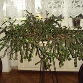 Kaktus Bożonarodzeniowy (Schlumbergera)