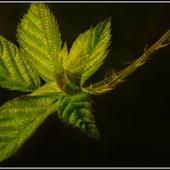 Rubus fruticosus.