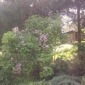 Krzewuszka Wiosennie