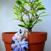 Magnolia gwiaździsta krótko przycięta