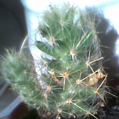 Mammillaria gracilis ma dwa pączki kwiatowe, a to tegoroczna sadzonka.