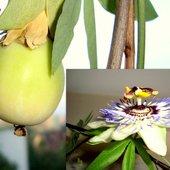 Moja passiflora i jej owocek.