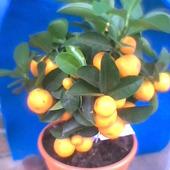 moje marzenie-Kalamondyna-Citrus Mintis