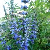 Niepokalanek - Niebieskie zioło...