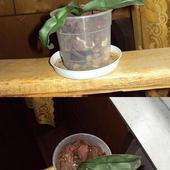 phalaenopsis keika
