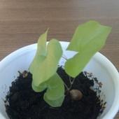 Roślina żółw c.d.