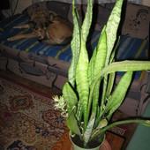 Sansewieria, Wężownica - Sansevieriae z Frutką w tle