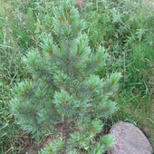 Sosna limba (Pinus cembra L.)
