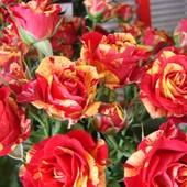 Taki bukiecik róż \'\'Fiesta\'\'dla Was mili .