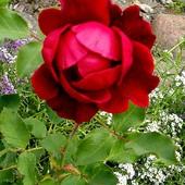 Teresko (Tercer) , stan różyczki dzisiaj :)