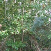 wiciokrzew nadmorski