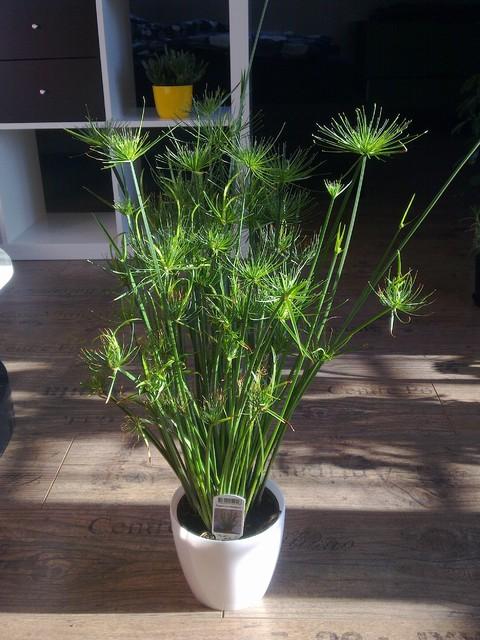 Cyperus Haspan :) dostałem w prezencie! :)