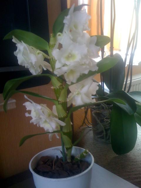 Dendrobium Nobile.