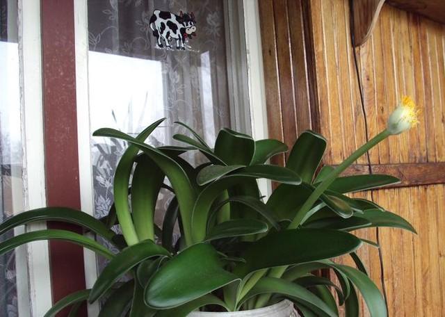 krasnokwiat białokwiatowy: