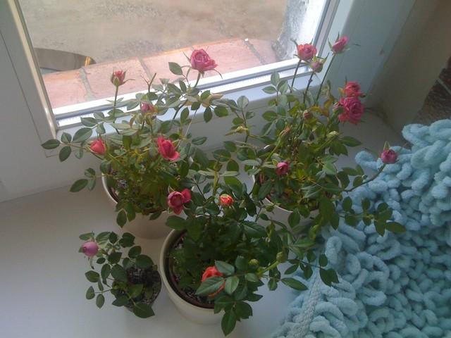 Przekwitające róże doniczkowe.