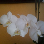 Biały Falenopsis przy drugim kwitnieniu.