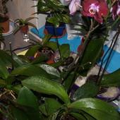 co (dwu-)tygodniowe podlewanie Phalaenopsisów