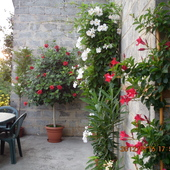 Czerwona róża chińska i inne.
